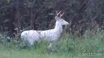 Rare white deer spotted in Raleigh near Beltline