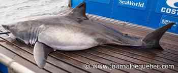 Quatre requins blancs vus près des Îles