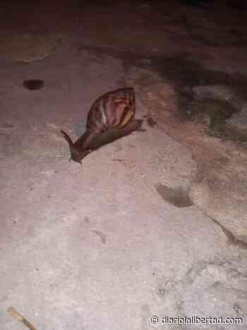 Alerta en Caracolí por presencia de caracoles africanos - Diario La Libertad