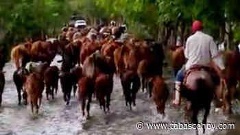 VIDEO | Al momento: Ante desbordamiento de río, ganaderos de Huimanguillo mueven sus reses - tabasco hoy
