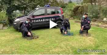 """Orrore, uccelli vivi usati come """"esche"""": denunciato dai Carabinieri VIDEO - Prima Lecco"""