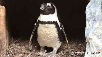 Drama at the zoo: Egg-napping male penguin couple steals the nest of a female penguin couple