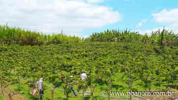 Natuba começa colheita da produção de uvas com orientação da Empaer - PBAGORA - A Paraíba o tempo todo