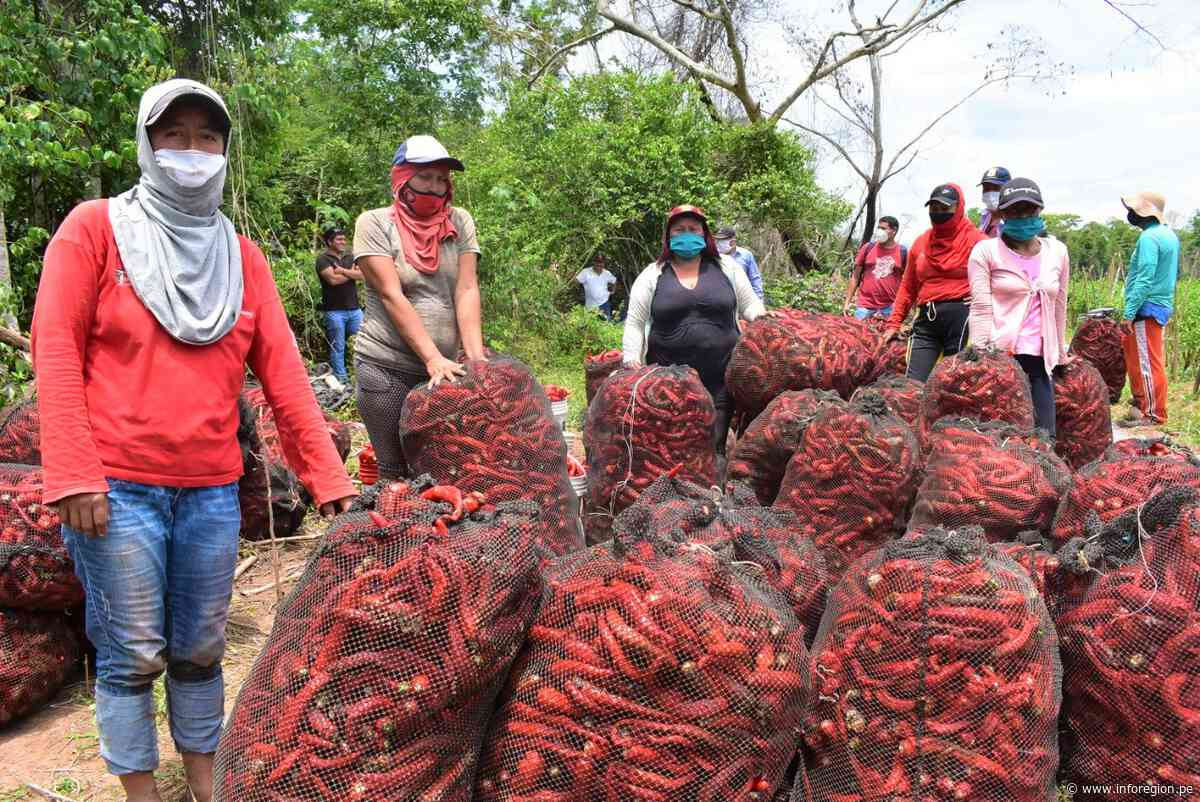 San Martín: Ampliarán cultivos de ají cayena y habanero en Santa Rosa - INFOREGION