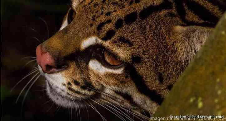 Investigan presunta caza de un ocelote en Yacopí, Cundinamarca - Semana