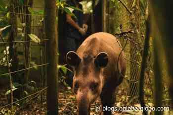Anta Jasmim, doada pelo Zoológico de Guarulhos, será solta em reserva ecológica do Rio - Jornal O Globo
