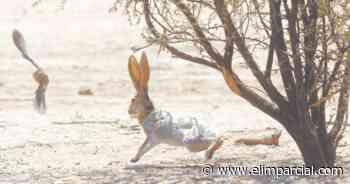 Alerta experto por enfermedad en los conejos - ELIMPARCIAL.COM