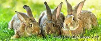 Les lapins peuvent-ils aller à l'université?
