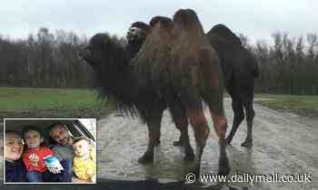 A family were left with a dent in front of car after a 75st CAMEL at a safari park sat on the bonnet