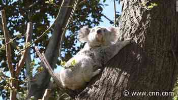 Koala populations are in decline, and it's our fault