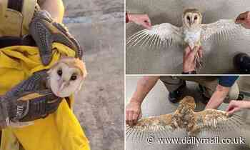 Barn owl found with its wings scorched by wildfires falls asleep in its rescuers arms in California