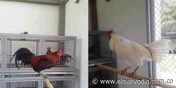 Coso Municipal de Icononzo se convirtió en criadero de gallos de pelea - El Nuevo Dia (Colombia)