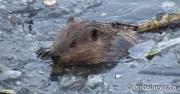 'Canada's most famous beaver': Saskatoon beaver video goes viral