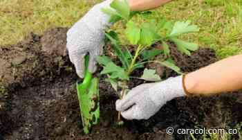 En Risaralda sembrarán dos millones de árboles - Caracol Radio