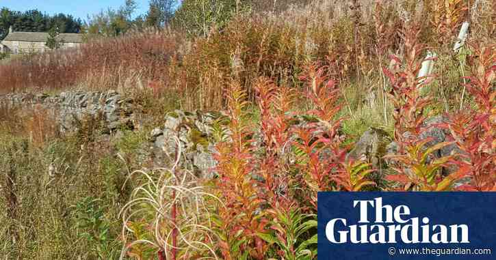 Country diary: rosebay willowherb – a pioneer plant   Country diary