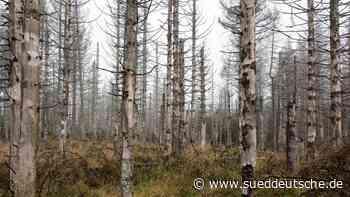 Rund 100 kranke Bäume im Kurpark Schierke werden gefällt - Süddeutsche Zeitung