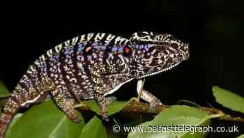 Scientists find Madagascar chameleon last seen 100 years ago