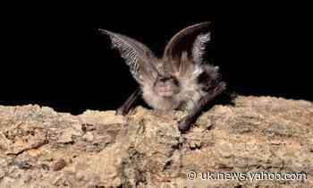 New sensor offers a window into the secret lives of Britain's rarest bats