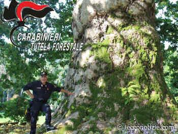 Carabinieri Forestali. Alberi monumentali, un patrimonio da difendere - Lecco Notizie