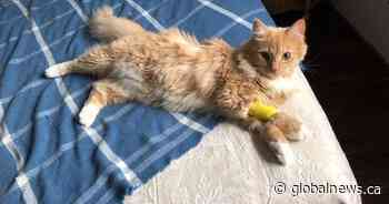 Cat recovering after allegedly being shot by pellet gun in northwest Calgary: owner