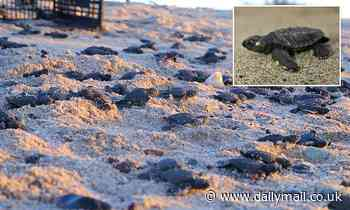 Record number of endangered sea turtles hatched in Mexico after COVID-19 limited human interference