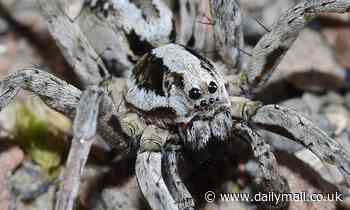 Great Fox: Endangered British spider seen for first time in 27 years