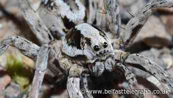 Great fox-spider spotted for first time in 25 years in Surrey