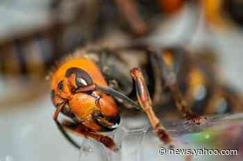 Scientists capture two murder hornet queens after destroying nest