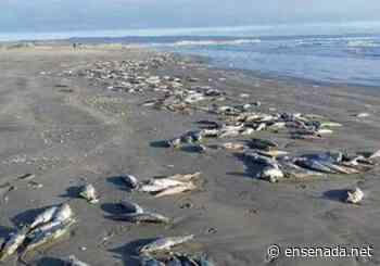 Detectan mortandad de peces en San Quintin - Ensenada.net