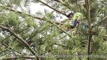The Christmas lights have been installed in the Raymond Terrace Norfolk pine tree - Port Stephens Examiner