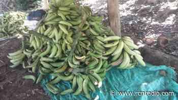 Mil toneladas de plátano, en riesgo de perderse en Los Córdobas, Córdoba - RCN Radio