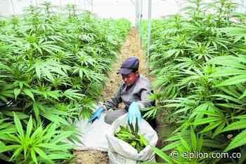 Multinacional invierte en cannabis medicinal en La Jagua de Ibirico - ElPilón.com.co