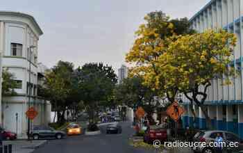 Guayacanes amarillos adornan el centro de la ciudad de Guayaquil - Sucre Noticias - Sucre RTV