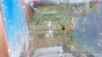 Encuentran nido de arañas ''viuda negra'' detrás de una escuela en Peto - El Diario de Yucatán