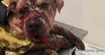 Horror en Villa Ballester: torturó a su perro hasta sacarle los órganos - Clarín