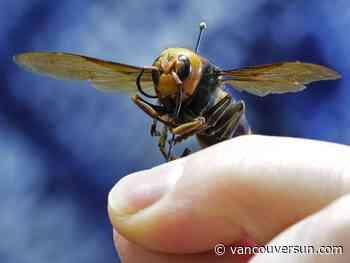 Another 'murder hornet' found in British Columbia