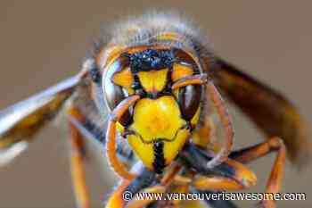Another giant 'murder-hornet' with painful sting discovered in Lower Mainland - Vancouver Is Awesome