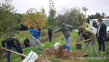 Sète agglo : soixante arbres offerts par le MHSC plantés à Poussan - Midi Libre