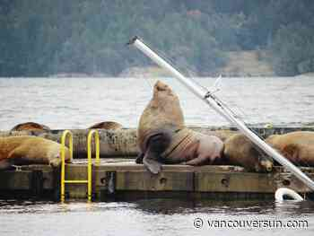 Sea lions throw a party on Cowichan Bay's federal breakwater to feast on spawning salmon