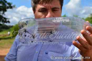 Capturan varias arañas viuda negra en una escuela de Peto - El Diario de Yucatán
