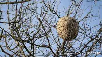Vimy : les frelons asiatiques ont décimé trois de ses six ruches - La Voix du Nord