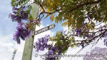 Proof is in the purple: How Jacaranda Ave got its name   photos - Port Stephens Examiner