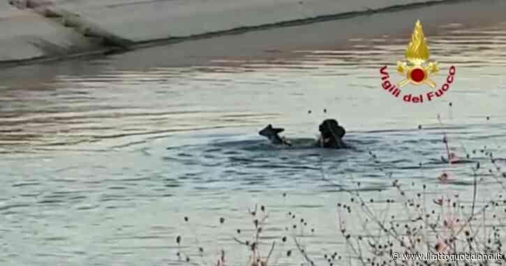 Tre caprioli finiscono in un canale nel Bolognese: i vigili del fuoco li salvano così. Il video