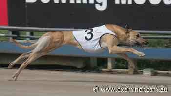 Victorian greyhound aiming to run off with Devonport Chase - Tasmania Examiner