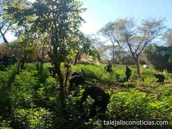 Policías estatales destruyen 40 mil plantas de marihuana en Tequila. - Tala Jalisco Noticias