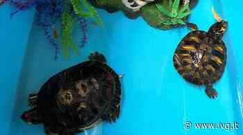Savona, due tartarughe d'acqua americane abbandonate vicino a un cassonetto: soccorse da Enpa - IVG.it