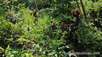 En zona rural de Otanche, Boyacá oficiales del Ejército encontraron más cultivos ilícitos - HSB Noticias