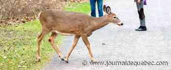 Longueuil va de l'avant pour éliminer les cerfs