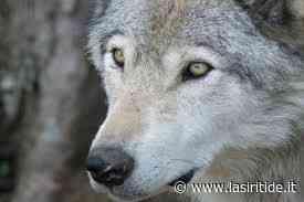 CULTURA E EVENTI - Policoro: tecnici a disposizione per informazioni sui lupi di Bosco Pantano - La Siritide