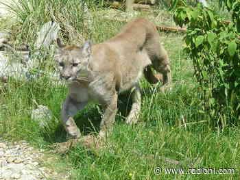 Cougar attack near Lillooet sends ten year old boy to hospital - radionl.com